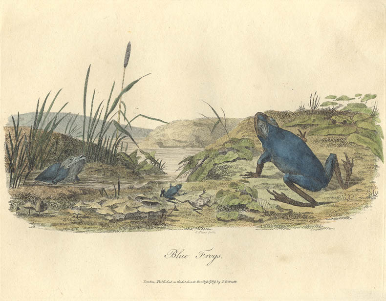 Original print of the green tree frog, published in John White's Journal of a Voyage to New South Wales. Artist: S. Stone