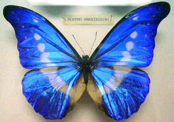 Butterfly_Morpho_rhetenor_helena_(M)_KL